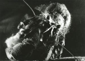 Bernard-l'hermite (C)