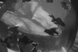 Bocal aux poissons-rouges (C)