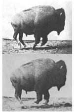 Buffalo Running (C)