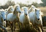 Le songe de chevaux sauvages (C)