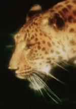 Leopard (C)